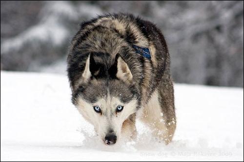 Hasil gambar untuk wild siberian husky